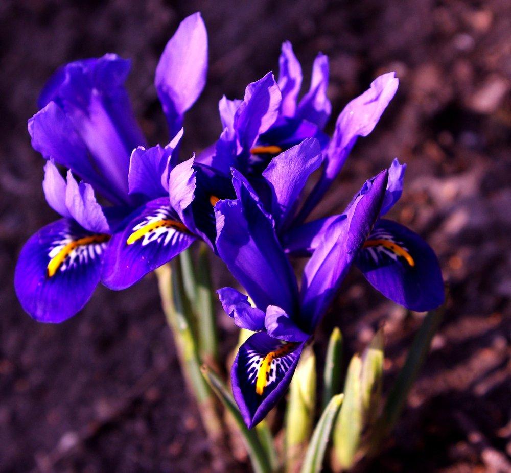 Blue Iris,
