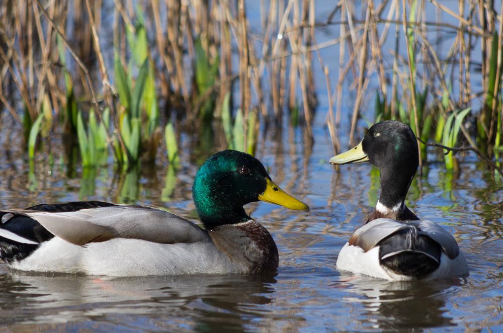Couple of ducks