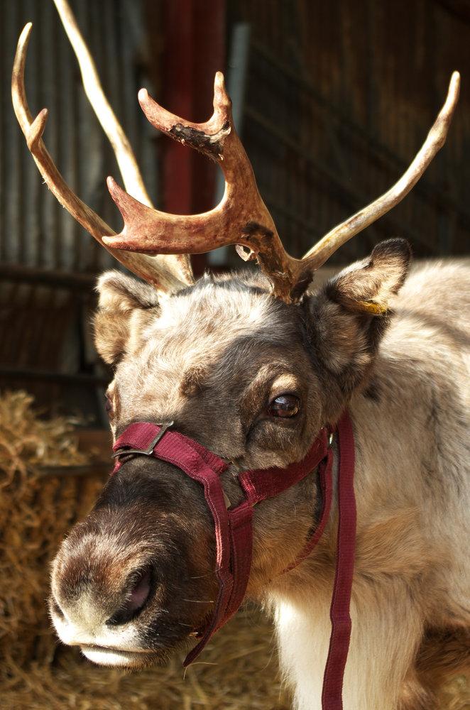 Reindeer at Mead