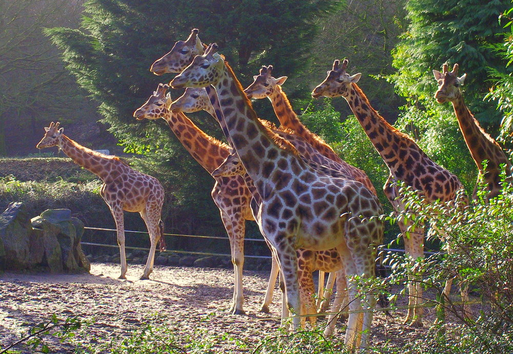 Giraffes, Belfast Zoo