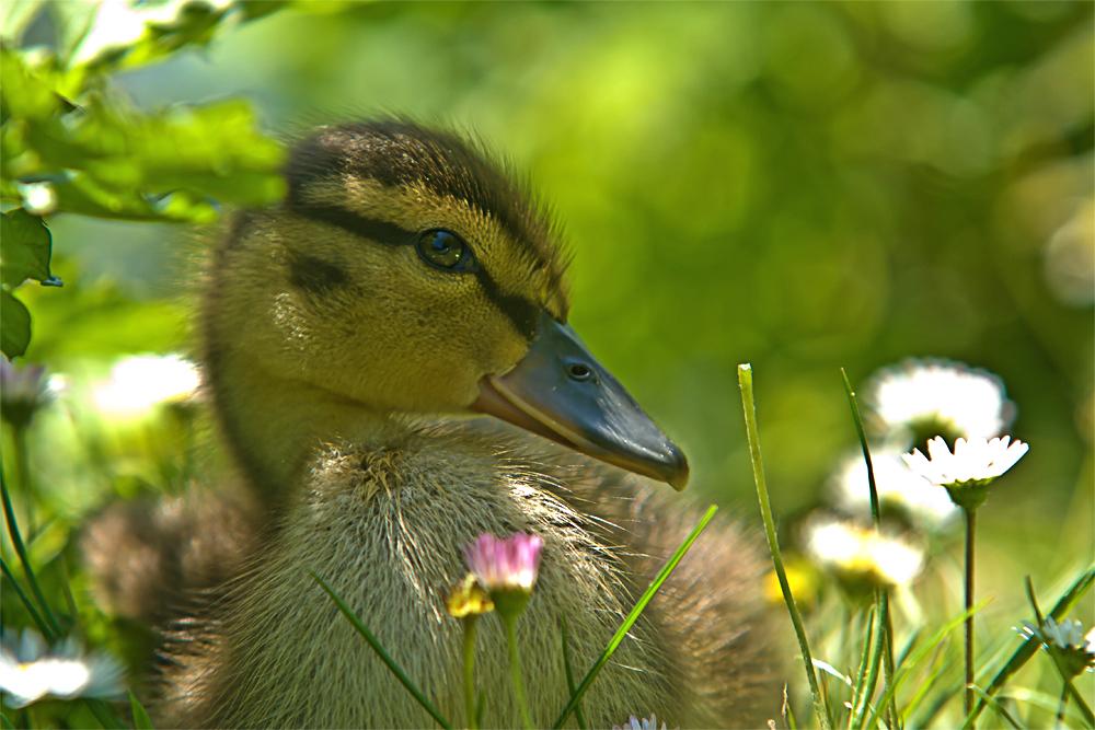 Only a little duck