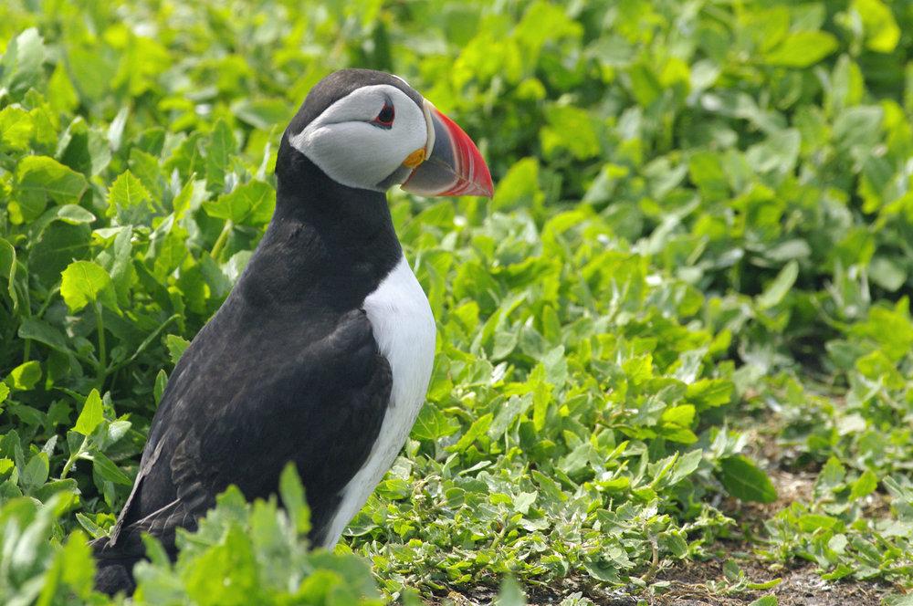 Puffin on Farne Islands