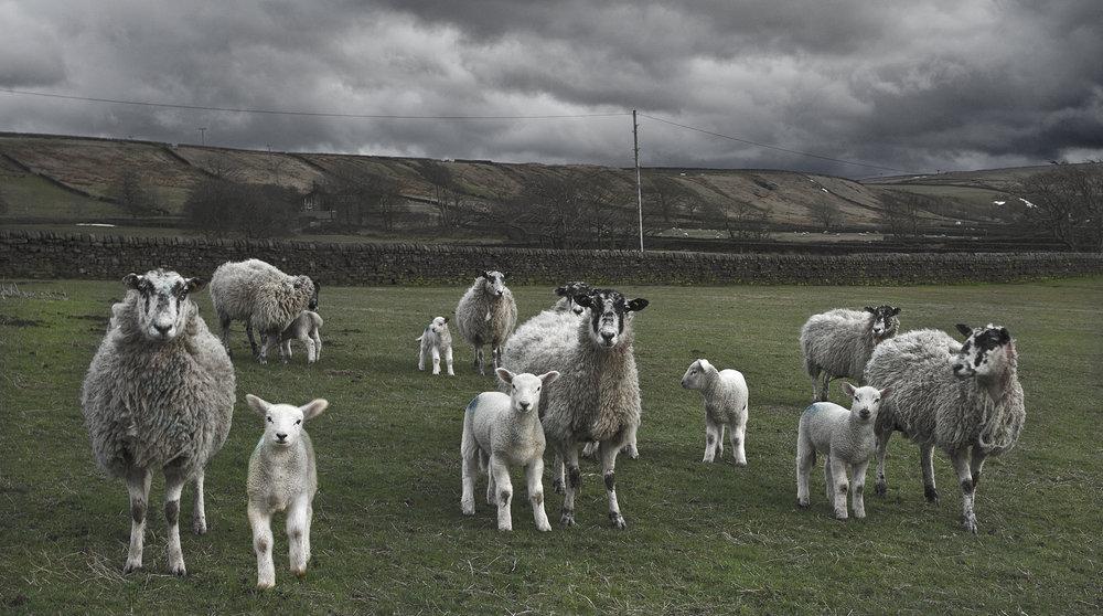 Mesmerized sheep
