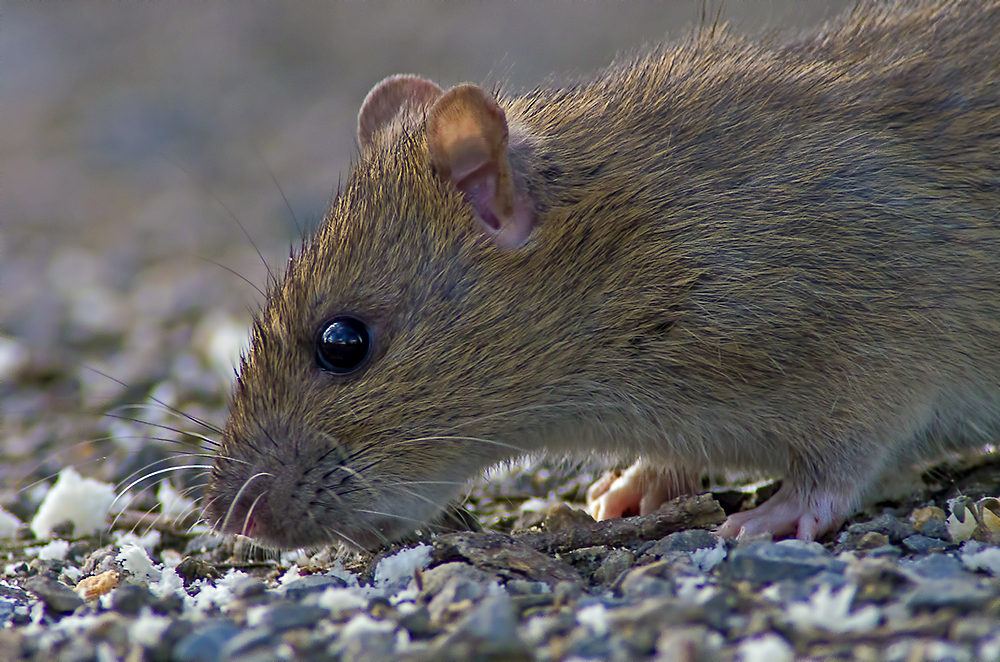 only a nice young rat