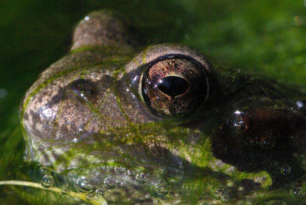 Frog in a blanket