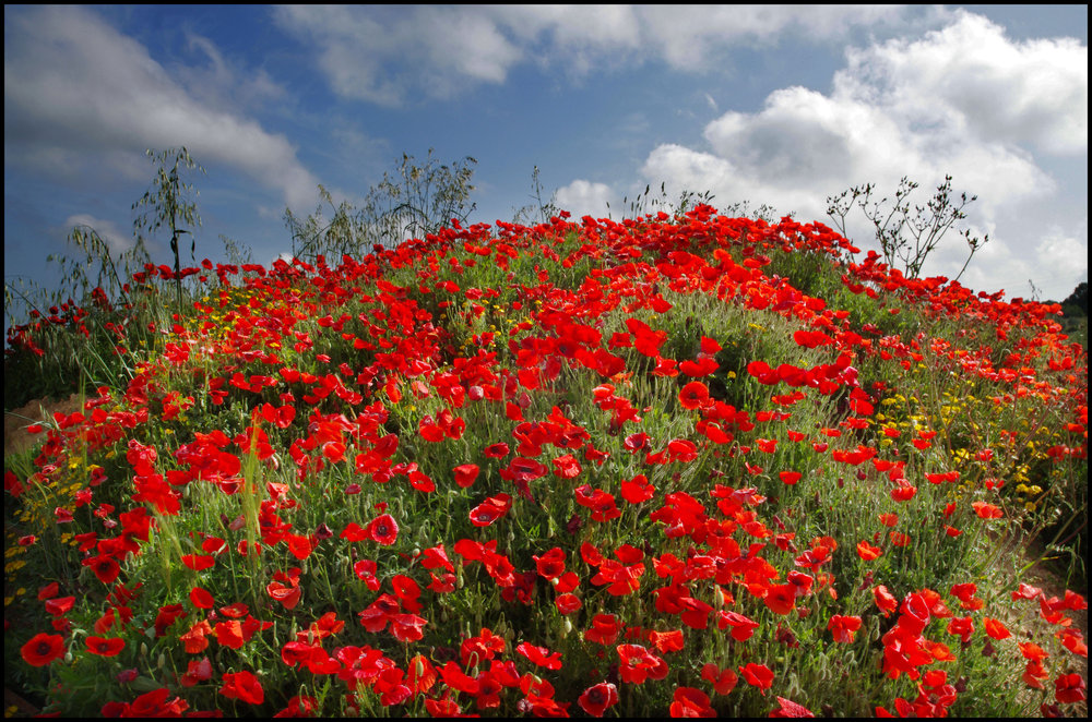 Mound of Poppies