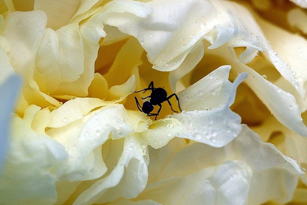 Ant in Peony