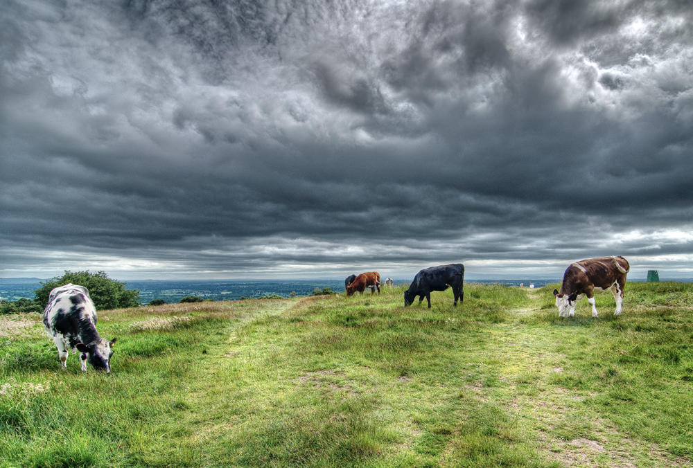 Cows on Helsby Hill
