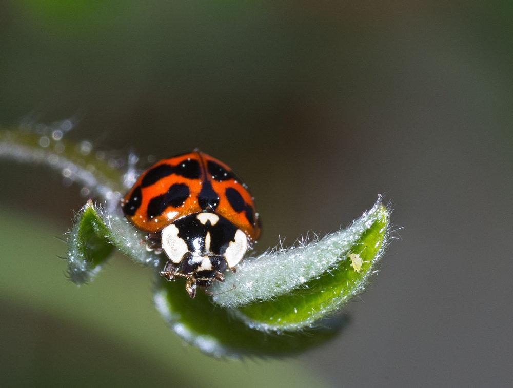 Ladybird & Aphid