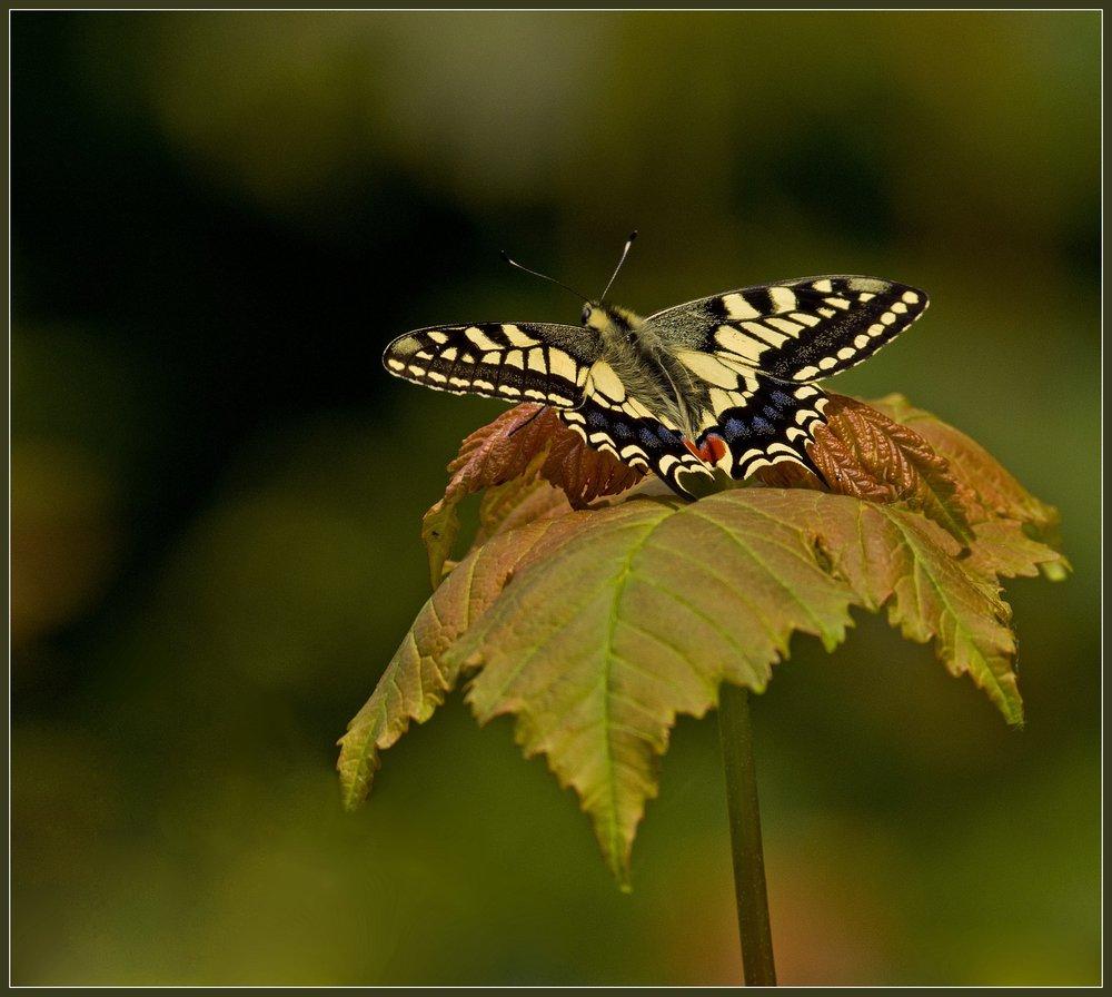 Swallowtail, Norfolk