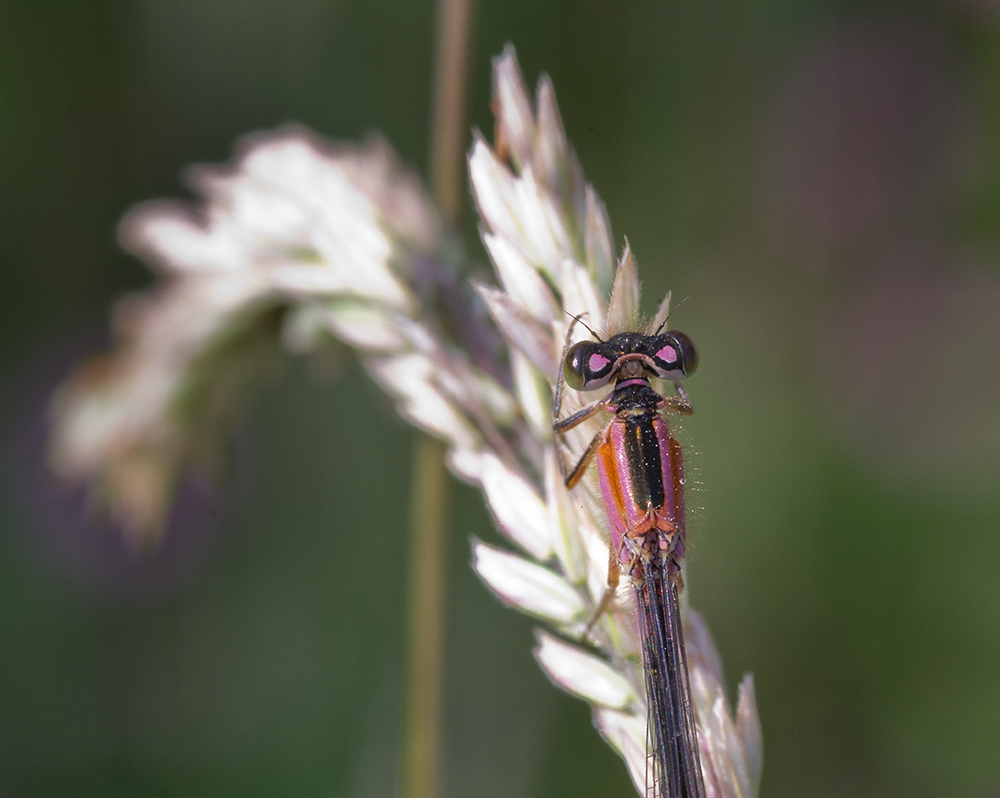 Damselfly - ID please?