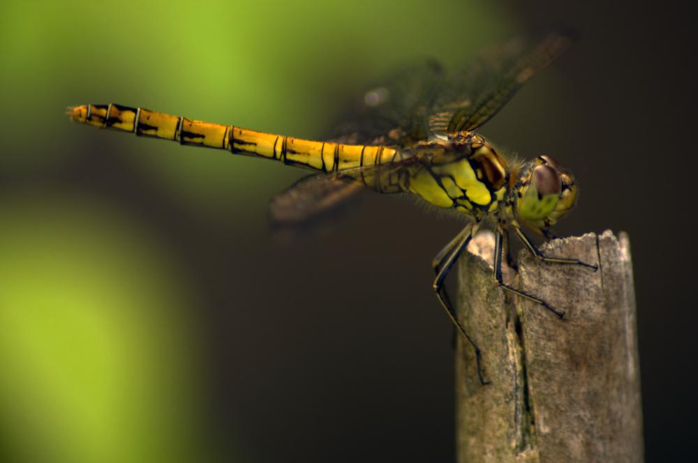 Female Darter
