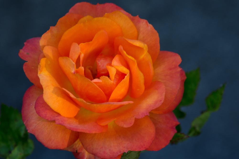 Rose Reworked