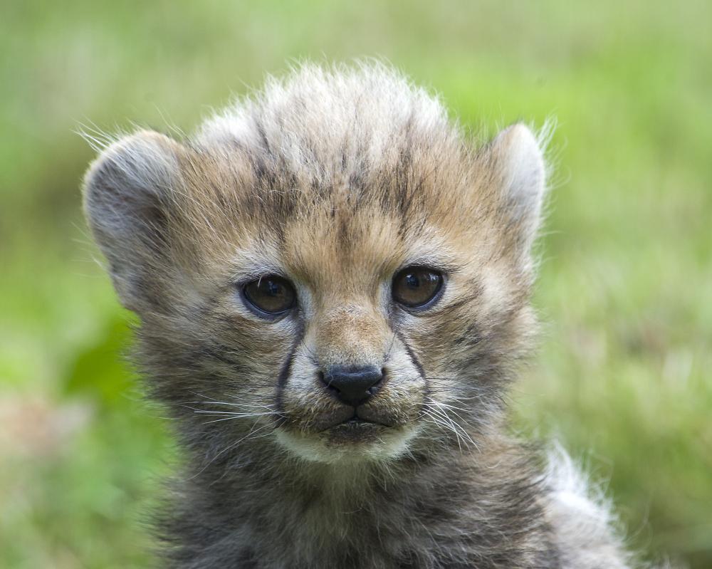 10 week old cheetah cub