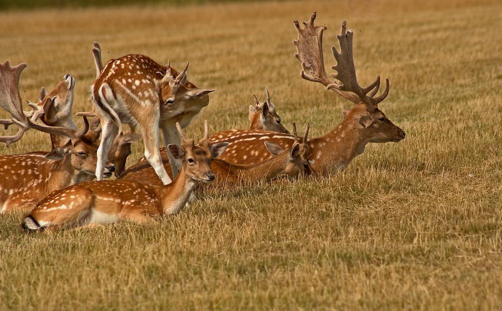 Deer at Holkham