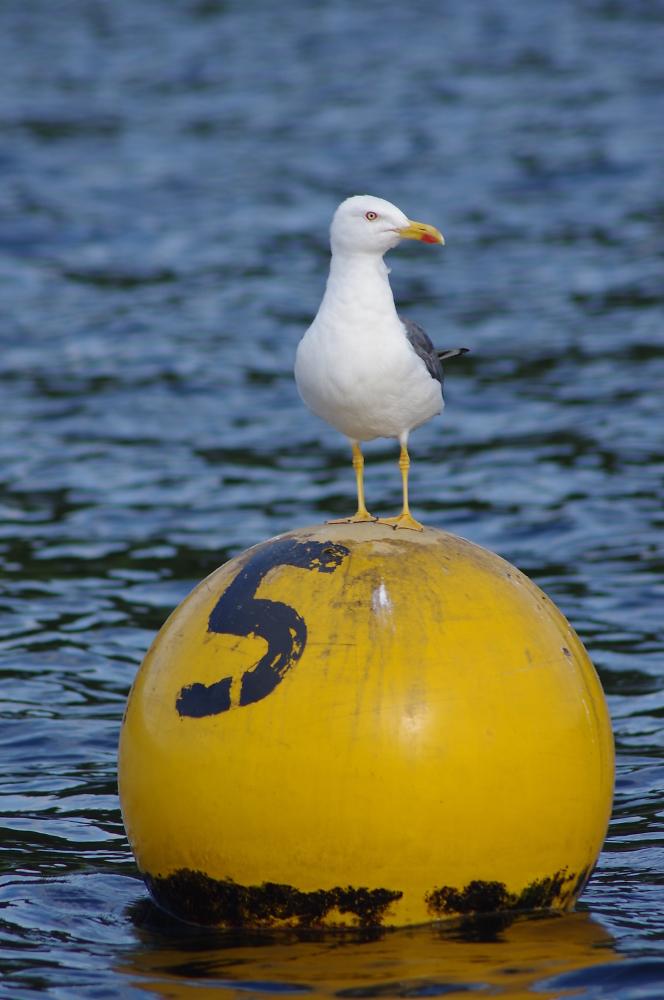 Gull on a buoy