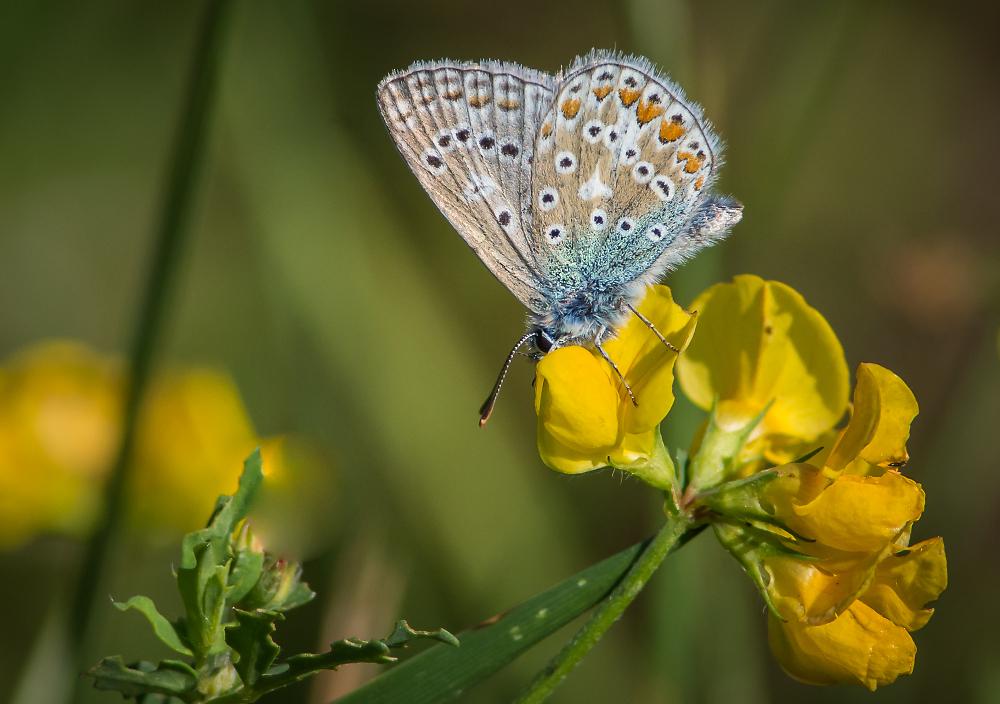 Common Blue male