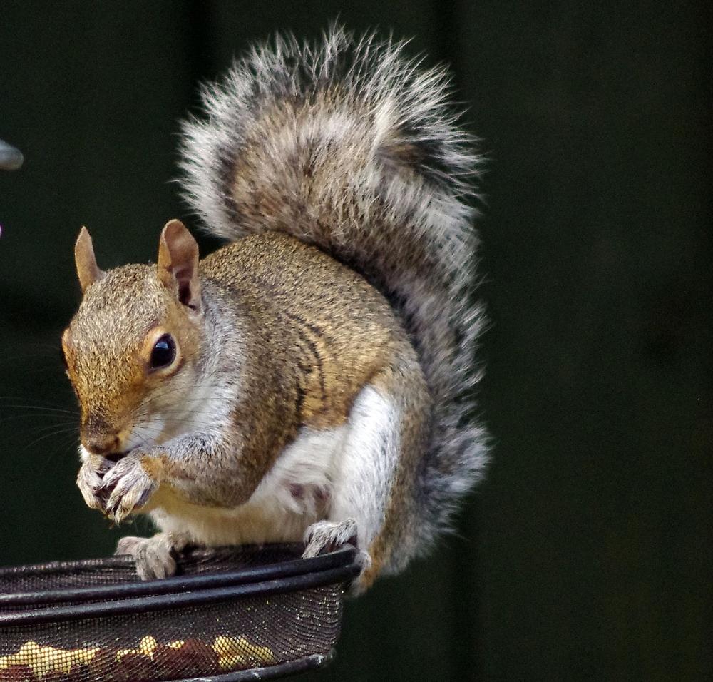 Cynthia the Squirrel.