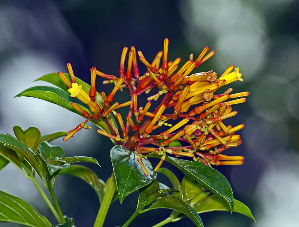 Firebush Flower