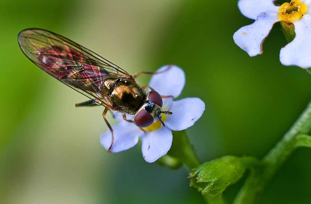 Little Hoverfly on Water Forget-me-not