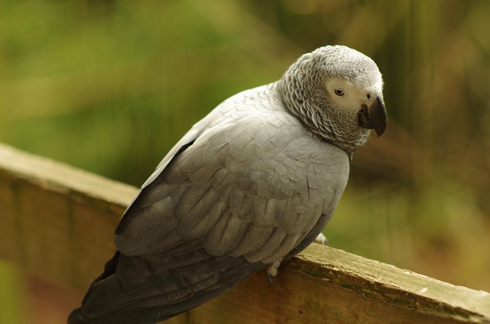 Parrot?