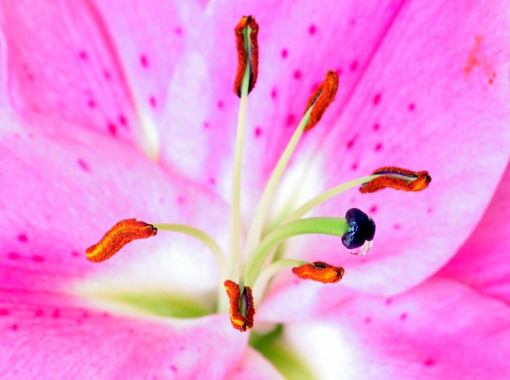 macro lily flower