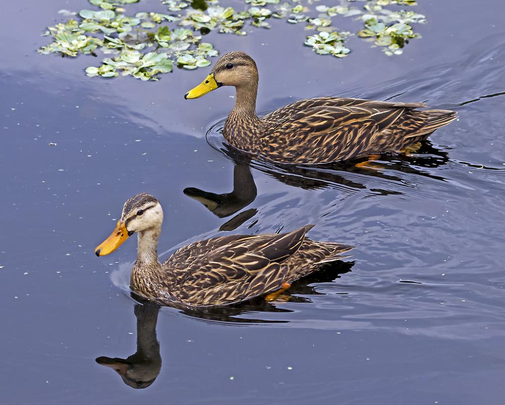 Mottlede Ducks