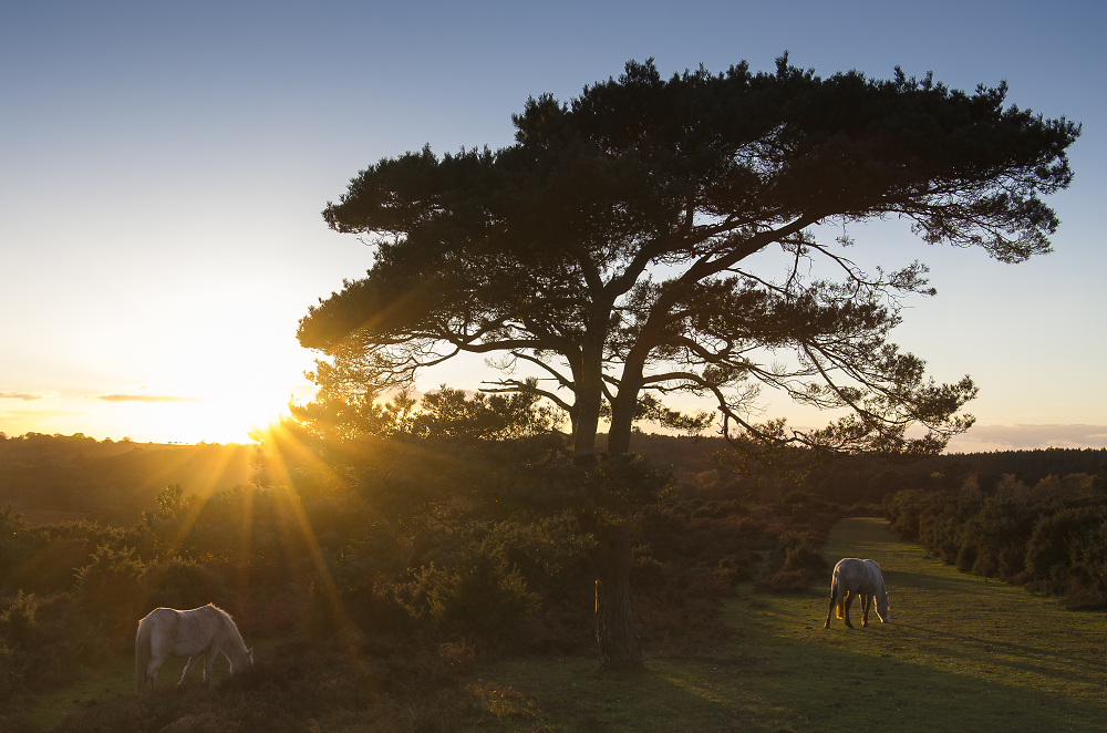 Sunlit ponies by a tree in New Forest