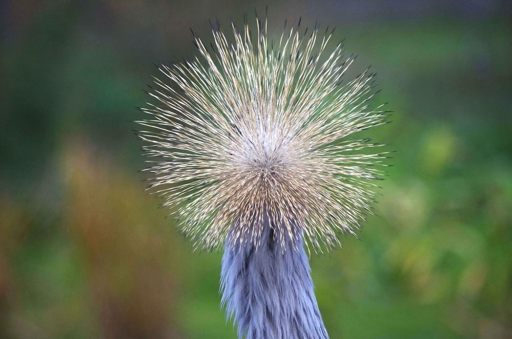 Natural pom-pom