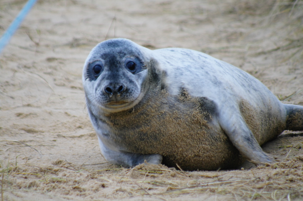 Norfolk Grey seal takes a look
