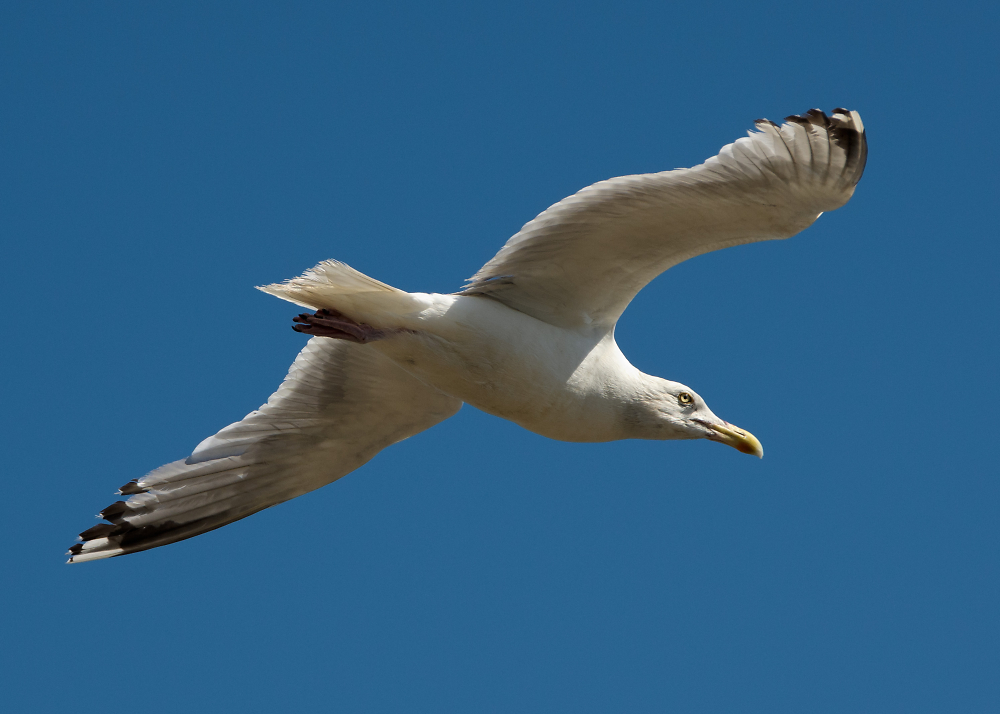 Gull, Old Felixstowe
