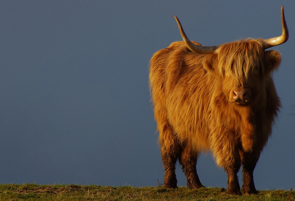 highland cow with low sun