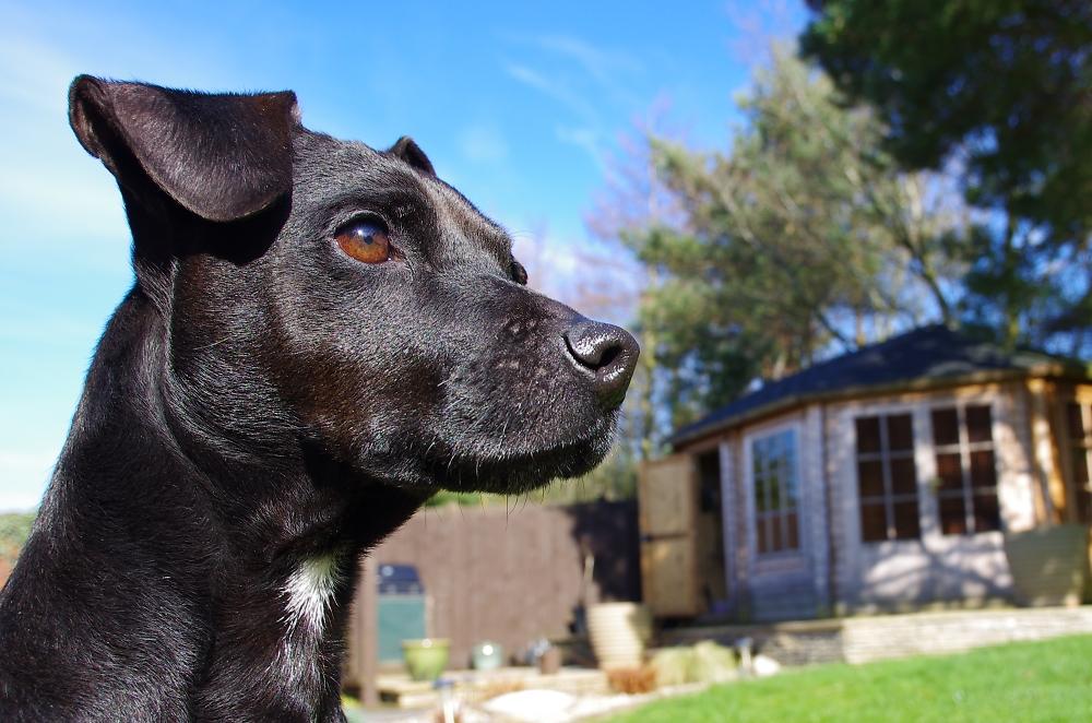 Briar , Patterdale Terrier