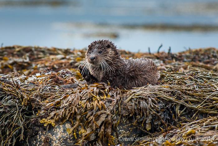 Mull Otter