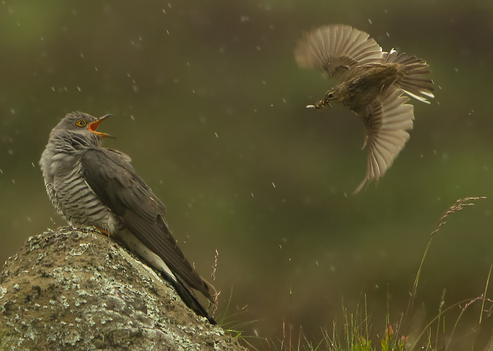 Pipit and Cuckoo