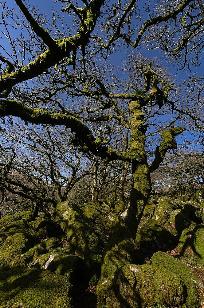 Wistman's Wood (1)