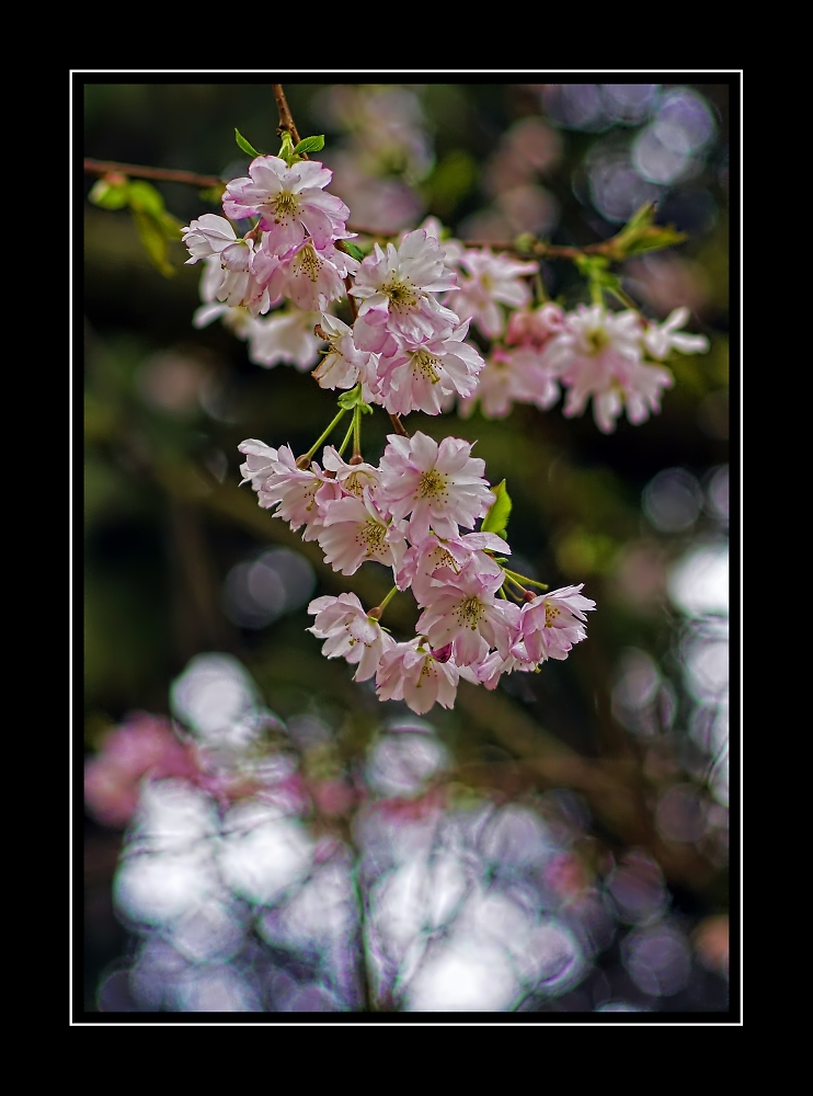 Cherry blossom bokeh.