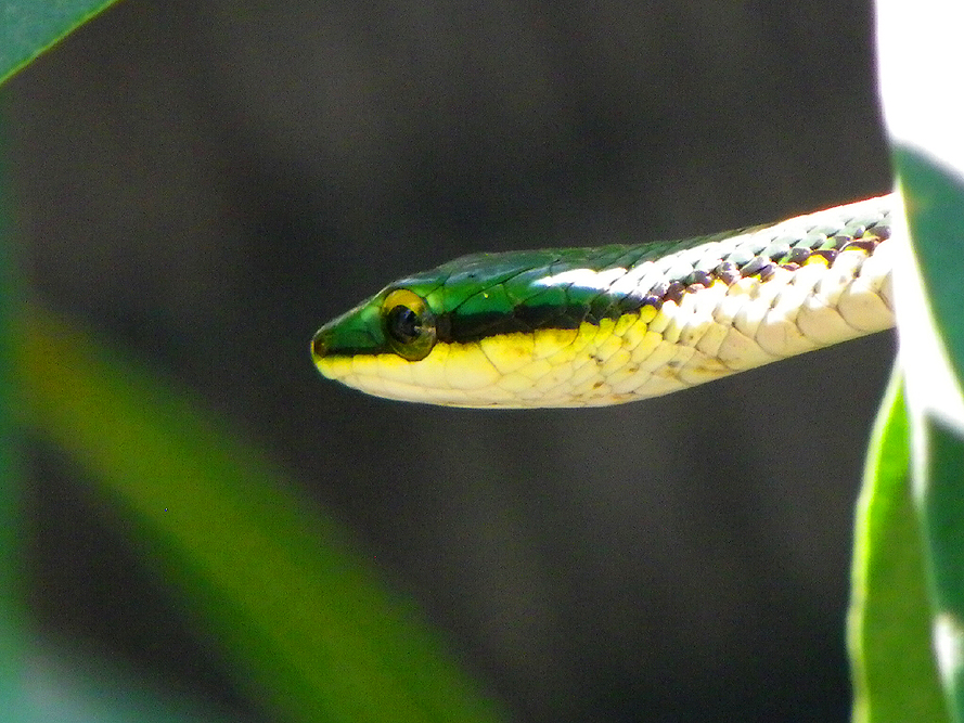 Mexican Parrot Snake