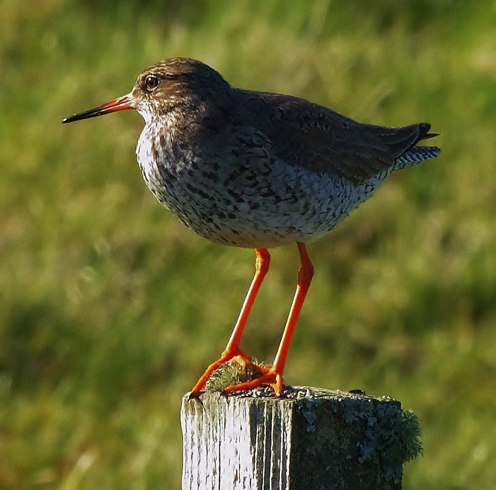 Redshank enjoying the evening sun