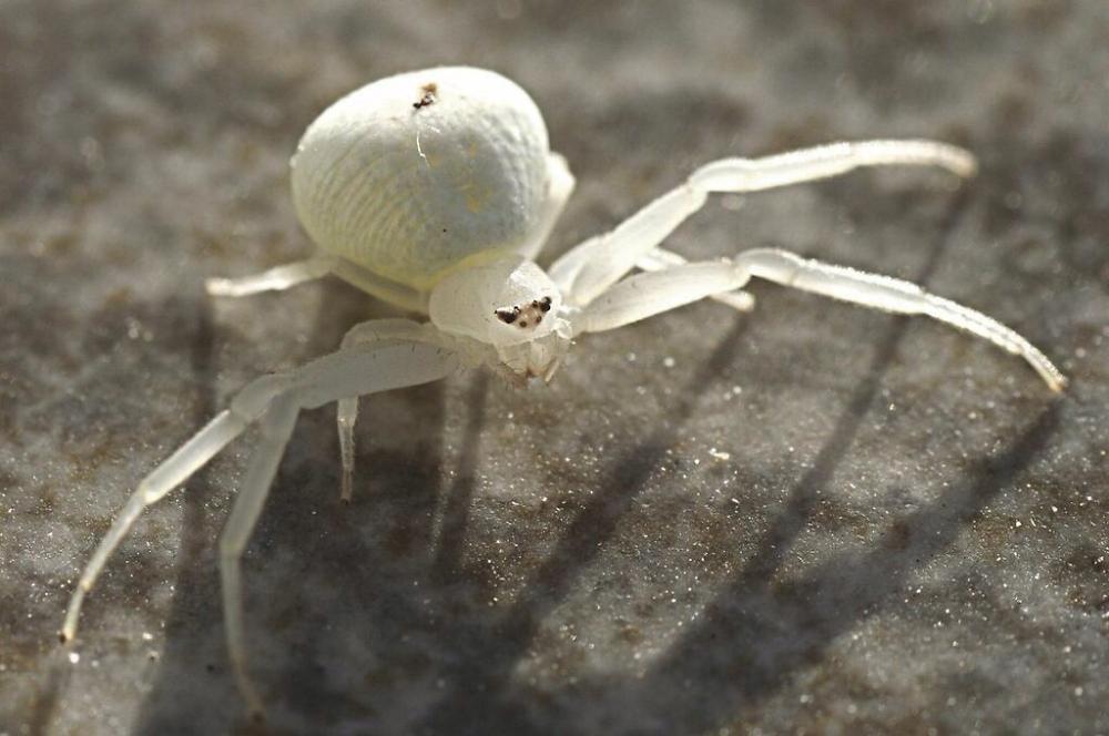 Tiny white crab spider