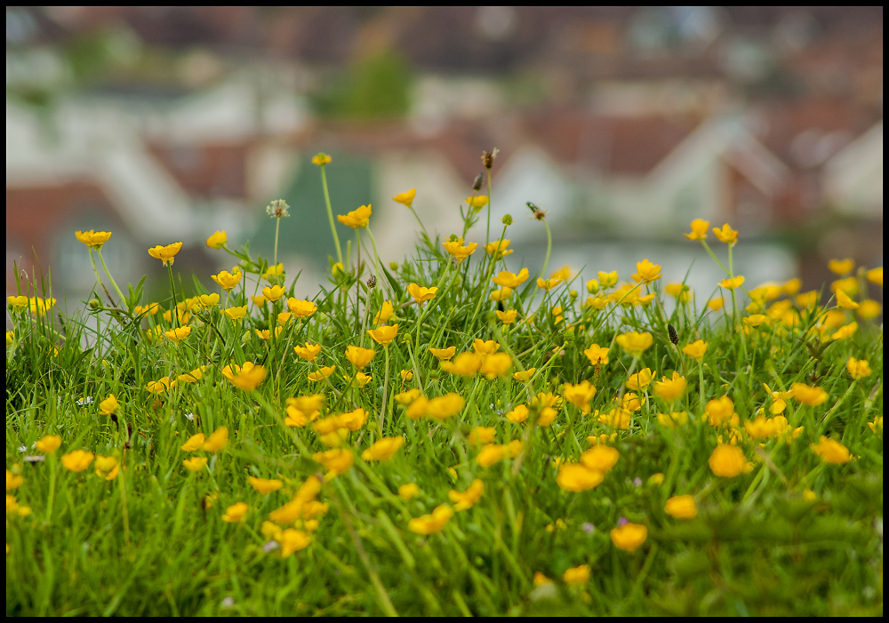 Buttercups on the Hill