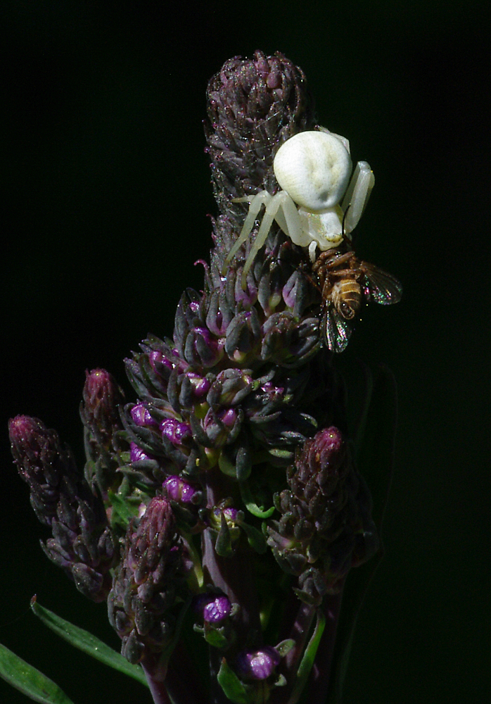 Crab Spider & Fly