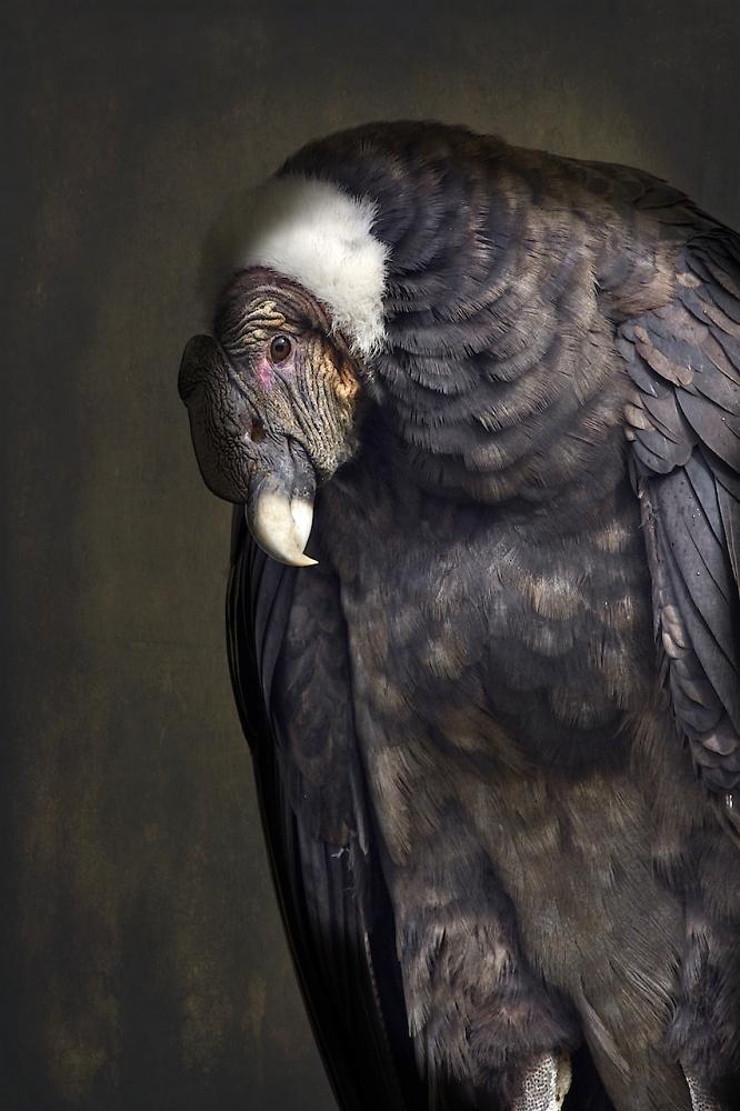 Female condor