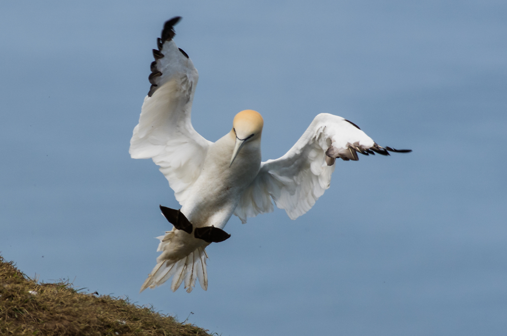 Flaps down - Northern Gannet