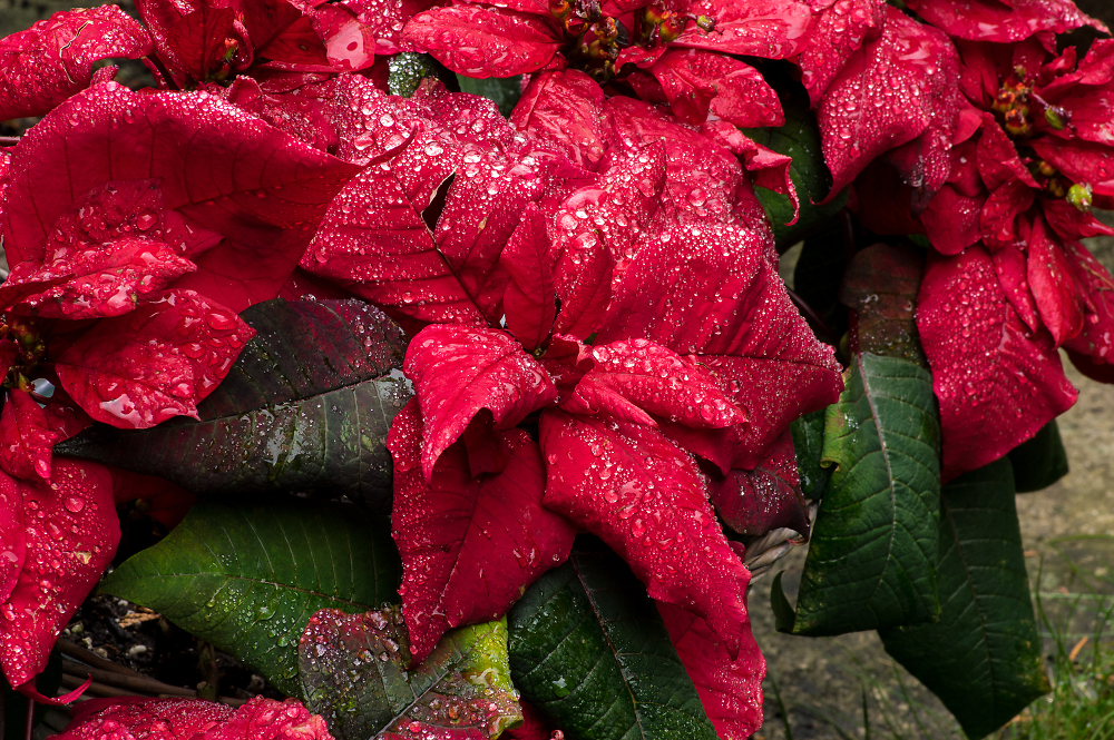 Old Poinsettia after Rain