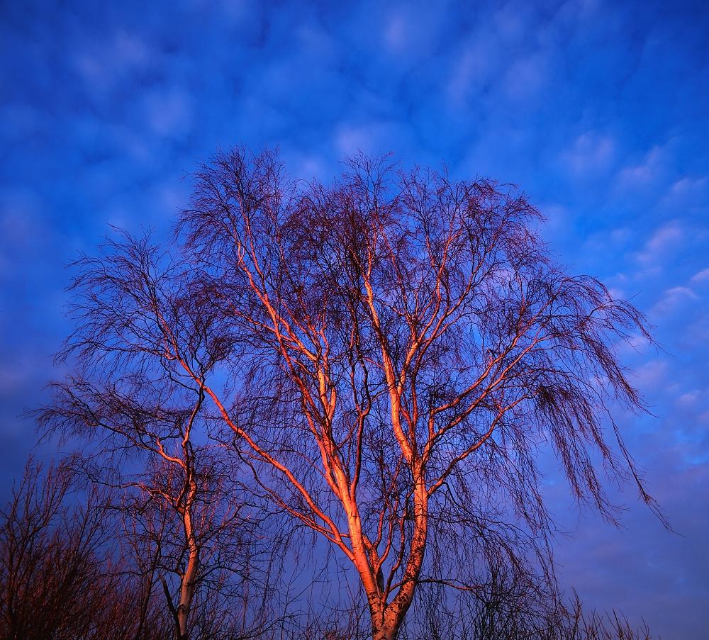 Red Silver Birches