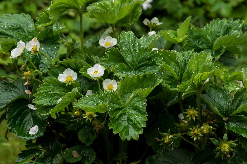 Strawberry Plants After Rain