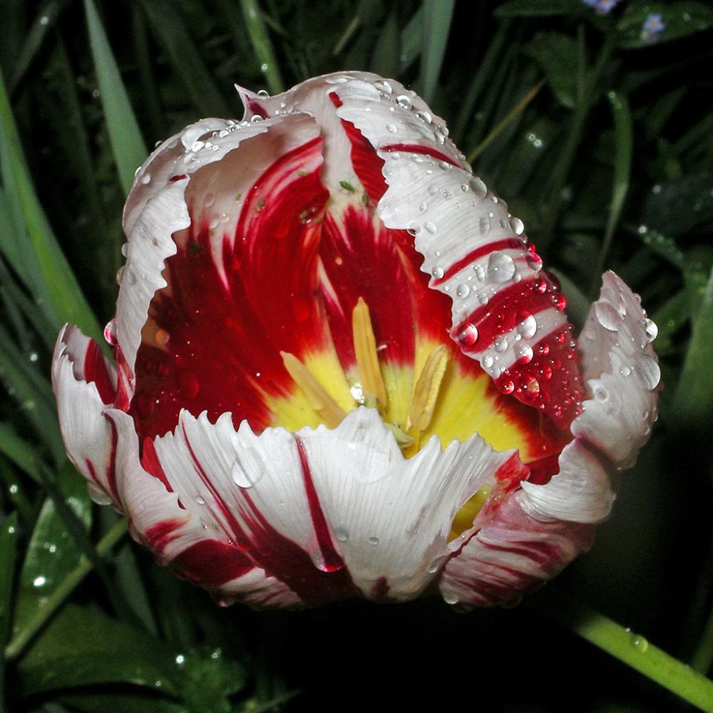 Tulip of the Rain and the Dark