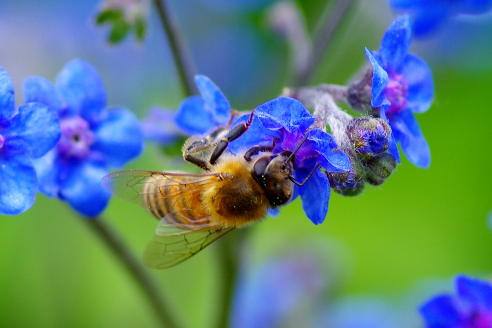 Busy bees and hover flys on Blue flowers.