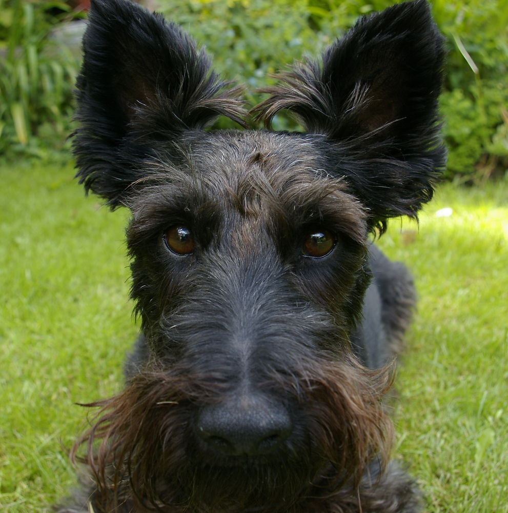 Day 30 The First Scottie